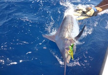 330 lb Blue Marlin - 330 lbs Blue Marlin Cavalier & Blue Marlin Sport Fishing Gran Canaria