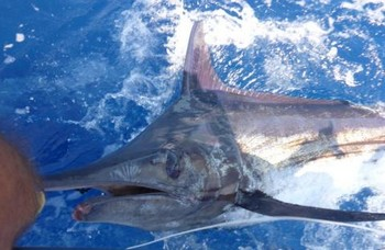 330 lbs Blue Marlin released on the boat Cavalier Cavalier & Blue Marlin Sport Fishing Gran Canaria
