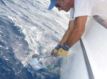 White Marlin released by Ed Raket from Holland Cavalier & Blue Marlin Sport Fishing Gran Canaria