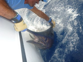 400 lbs Blue Marlin released on the boat Cavalier by Steven Hadley Cavalier & Blue Marlin Sport Fishing Gran Canaria