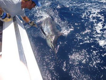 425 lbs Blue Marlin Caught & Released by Robert Hartung Cavalier & Blue Marlin Sport Fishing Gran Canaria