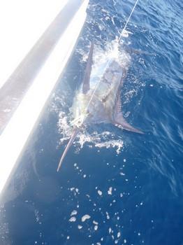 600 lbs Blue Marlin - Wayne Cooper from Sheffield released a 600 lbs Blue Marlin Cavalier & Blue Marlin Sport Fishing Gran Canaria