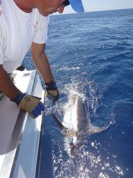 300 lbs Blue Marlin released by David McKinnov from Scotland Cavalier & Blue Marlin Sport Fishing Gran Canaria