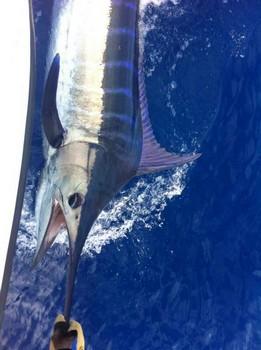 Blue Marlin released by Rune Skoglund from Norway Cavalier & Blue Marlin Sport Fishing Gran Canaria