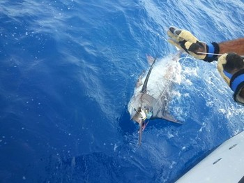 140 kg Blue  Marlin - Blue Marlin released by Christina Gerhard from Norway Cavalier & Blue Marlin Sport Fishing Gran Canaria