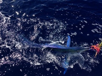 Longbill Spearfish released by Lutjen Mulder from Holland Cavalier & Blue Marlin Sport Fishing Gran Canaria