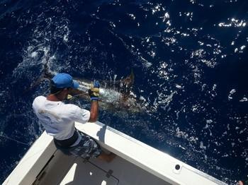Blue Marlin released on the boat Cavalier Cavalier & Blue Marlin Sport Fishing Gran Canaria