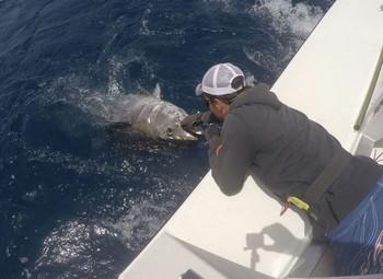 Atún rojo - Cavalier lanzó hoy un atún rojo de 220 y 240 kg Pesca Deportiva Cavalier & Blue Marlin Gran Canaria