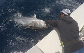 Bluefin Tuna on the boat Cavalier Cavalier & Blue Marlin Sport Fishing Gran Canaria