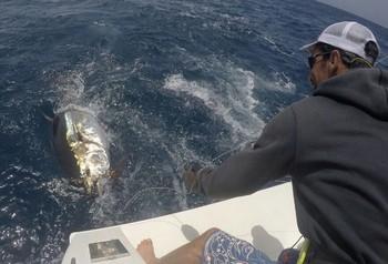 Bluefin Tuna - 240 kg Blue Tuna behind the boat Cavalier Cavalier & Blue Marlin Sport Fishing Gran Canaria