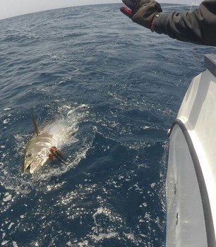 Bluefin Tuna caught and released by Darrel Cooper from England Cavalier & Blue Marlin Sport Fishing Gran Canaria