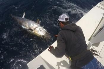 Bluefin Tuna - Ready for release Cavalier & Blue Marlin Sport Fishing Gran Canaria