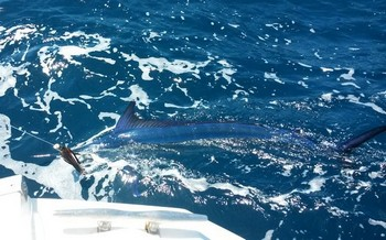 Spearfish - 25 kg Spearfish released on the boat Cavalier Cavalier & Blue Marlin Sport Fishing Gran Canaria