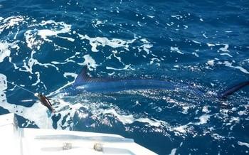 Spearfish - 25 kg Spearfish liberado en el barco Cavalier Pesca Deportiva Cavalier & Blue Marlin Gran Canaria