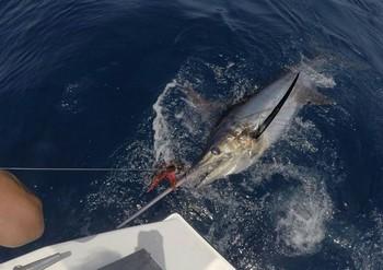 230 kg Blue Marlin released by Jan Bovendeur from Holland Cavalier & Blue Marlin Sport Fishing Gran Canaria