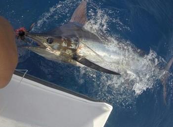 230 kg Blue Marlin - Cavalier released their  2nd Blue Marlin Cavalier & Blue Marlin Sport Fishing Gran Canaria
