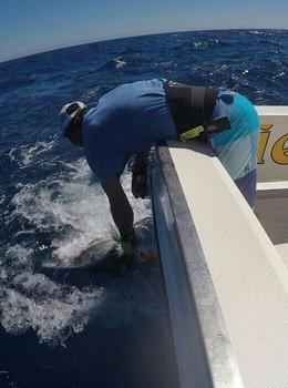Congratulations - Abraham released a Blue Marlin Cavalier & Blue Marlin Sport Fishing Gran Canaria
