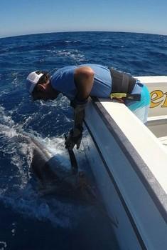 240 kg Blue Marlin - Tag & Release - 240 kg Blue Marlin Cavalier & Blue Marlin Sport Fishing Gran Canaria