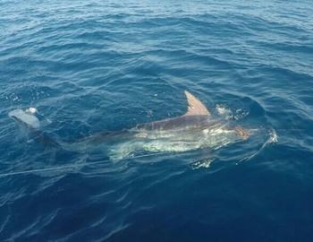 Blue Marlin besides the Cavalier Cavalier & Blue Marlin Sport Fishing Gran Canaria