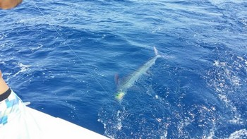 Release Me - White Marlin behind the boat Cavalier Cavalier & Blue Marlin Sport Fishing Gran Canaria