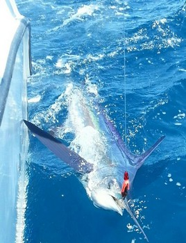 White Marlin released by Ruud Sormani from Holland Cavalier & Blue Marlin Sport Fishing Gran Canaria