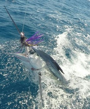 White Marlin - Martin from England tagged and released this beauty on the boat Cavalier Cavalier & Blue Marlin Sport Fishing Gran Canaria