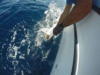 White Marlin released by Gert van Leest from Holland Cavalier & Blue Marlin Sport Fishing Gran Canaria