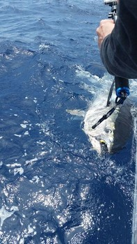 280 kilo Bluefin, captured and released by Cees Pipping from Holland Cavalier & Blue Marlin Sport Fishing Gran Canaria