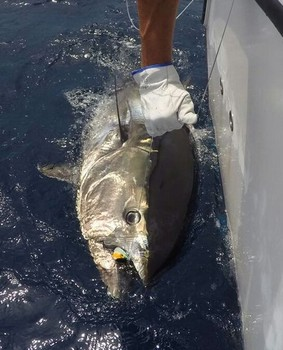 280 kg Bluefin - Bluefin caught and released by Cees Pipping from Holland Cavalier & Blue Marlin Sport Fishing Gran Canaria