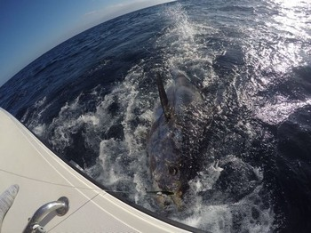 250 kg Bluefin Tuna - Alex Jerominos hooked up with his 250 kg Bluefin Tuna. Cavalier & Blue Marlin Sport Fishing Gran Canaria