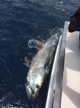 320 kg Bluefin Tuna - 320 kgg Bluefin Tuna released by James Hopkins Cavalier & Blue Marlin Sport Fishing Gran Canaria