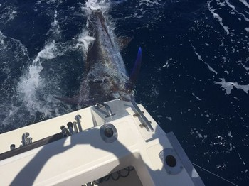 250 kg Blue Marlin tagged and released Cavalier & Blue Marlin Sport Fishing Gran Canaria