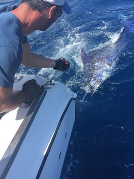 250 kg Blue Marlin released by Rob Ronney from the United Kingdom Cavalier & Blue Marlin Sport Fishing Gran Canaria