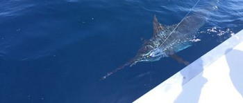 300 lbs Blue Marlin  released by Rolf Gustke from Germany Cavalier & Blue Marlin Sport Fishing Gran Canaria