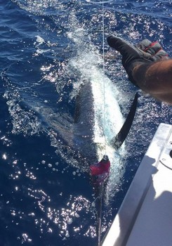 240 lb Blue Marlin released by Oscar Storm from Holland Cavalier & Blue Marlin Sport Fishing Gran Canaria