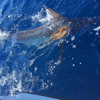 Blue Marlin - 600 lbs Blue Marlin  released by Warner Völler from Germany Cavalier & Blue Marlin Sport Fishing Gran Canaria
