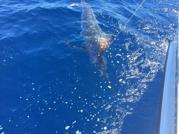 600 lbs Blue Marlin  released by Werner Völler from Germany Cavalier & Blue Marlin Sport Fishing Gran Canaria