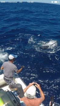 Blue Marlin - Blue marlin  caught and released by Peter Schuurbiers from Holland Cavalier & Blue Marlin Sport Fishing Gran Canaria