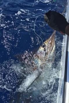 200 kg Blue Marlin, released by Jos van Loo from Holland Cavalier & Blue Marlin Sport Fishing Gran Canaria