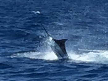 Great Jump Cavalier & Blue Marlin Sport Fishing Gran Canaria