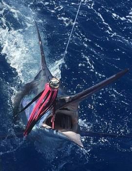 Blue Marlin caught by Henk Wijtman from Belgium Cavalier & Blue Marlin Sport Fishing Gran Canaria