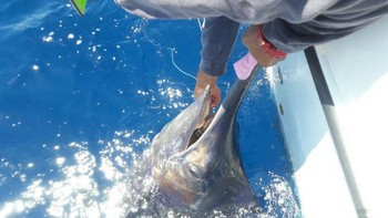 Blue Marlin - Blue marlin  caught and released by Michael Killick Cavalier & Blue Marlin Sport Fishing Gran Canaria
