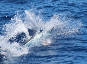 350 lbs Blue Marlin tagged and released by Christopher Ward  from Wales Cavalier & Blue Marlin Sport Fishing Gran Canaria