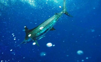 Blue Marlin - Blue marlin  caught and released by the Cavalier Cavalier & Blue Marlin Sport Fishing Gran Canaria