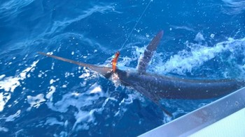 White Marlin released by Greg Young Cavalier & Blue Marlin Sport Fishing Gran Canaria