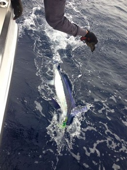 White Marlin released by Kenny Bremner from the UK Cavalier & Blue Marlin Sport Fishing Gran Canaria