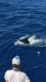 Blue Marlin 600 lbs - Aguja azul capturada y liberada por el Cavalier Pesca Deportiva Cavalier & Blue Marlin Gran Canaria