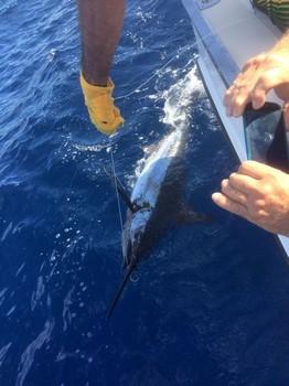 120 kg Blue Marlin released by Michael Swift Cavalier & Blue Marlin Sport Fishing Gran Canaria