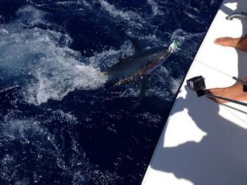 Albacore Release Cavalier & Blue Marlin Sport Fishing Gran Canaria