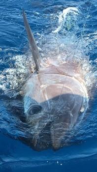 Bluefin Tuna - 440 lbs Bluefin Tuna released by Siegfried Schmidt Cavalier & Blue Marlin Sport Fishing Gran Canaria